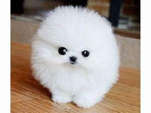 Cute Teacup Pomeranian Puppy