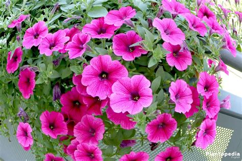 images petunias petunia flowers how to plant grow and care from seeds plantopedia