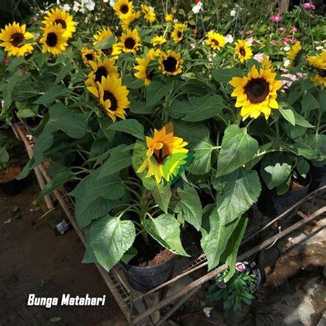 jual bibit bunga matahari agro bibit id