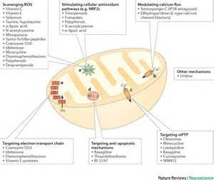 Mitochondria Function