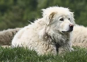 Herding dogs, Maremma sheepdog and A sheep on Pinterest