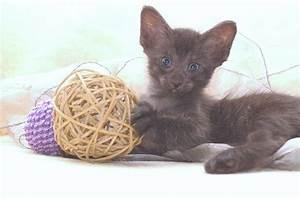 Mit Katze Umziehen : tieranzeigen orientalen kleinanzeigen ~ Michelbontemps.com Haus und Dekorationen