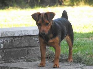 Black And Tan Jack Russell Pictures to Pin on Pinterest ...