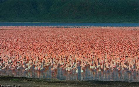 Pink Flamingo Bird Flocks