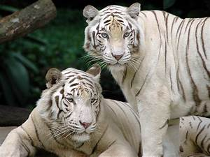White Bengal Tigers - Splendid Wallpaper HD
