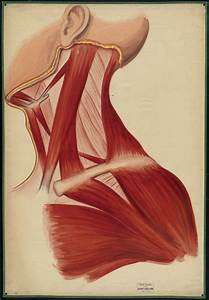 Teaching Watercolor Of The Muscles Of The Neck  Chest  Jaw