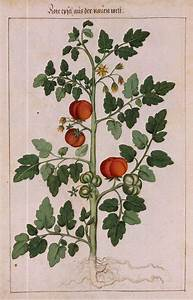 7 Best Images About Tomato Plant On Pinterest