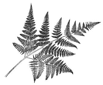 beeswax palms ferns