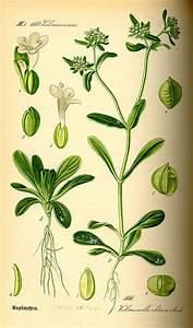 Feldsalat Setzlinge Pflanzen : feldsalat valerianella pflanzen ~ Frokenaadalensverden.com Haus und Dekorationen