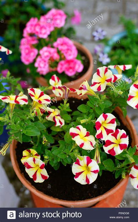 Petunien Garten Pflanzen by Topfpflanzen Sommer Pflanzen Petunien Und Geranien