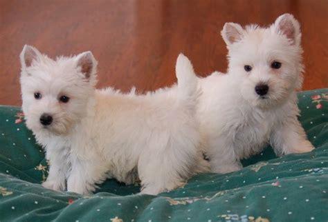 Scottish Terrier Bichon Mix Hairstylegalleries Com