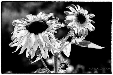 Solarized Sunflower Plant And Nature Photos Jack Larson