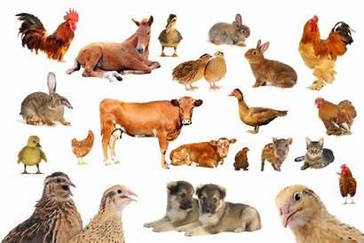 Animals Kinds Farm Cow Brown Animal Chicken