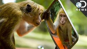Which Animals Recognize Themselves In Mirrors? - YouTube