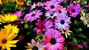 Wallpaper Spring flowers, Daisy flowers, Purple, Yellow ...