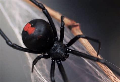 black widow spider weneedfun