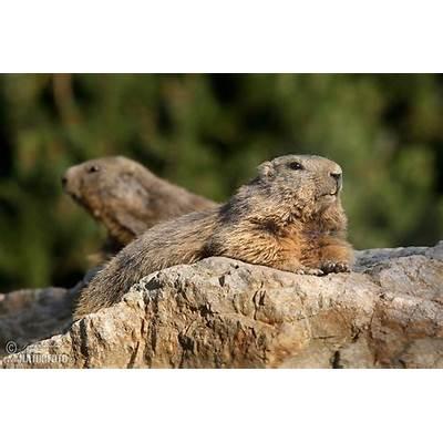 Alpine Marmot Photos Images Nature