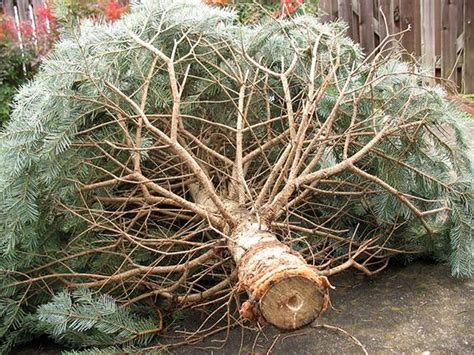 waste management christmas trees trees how to recycle dispose montgomery county maryland