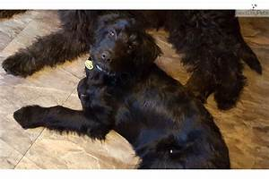 Shepadoodle puppy for sale near Des Moines, Iowa ...