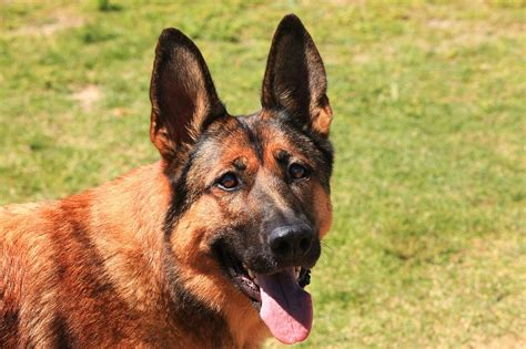 German Shepherd Belgian Malinois Mix Shop For Your Cause