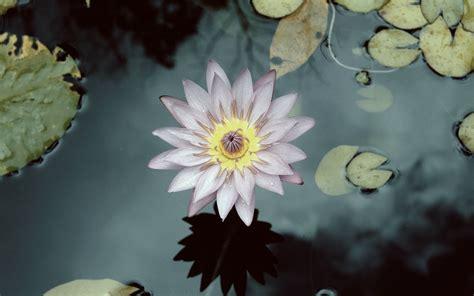 lotus flowers, Water, Plants Wallpapers HD / Desktop and ...