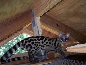 Caring for Spotted Genets as Pets | PetHelpful