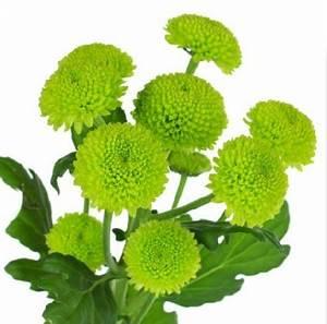 Wedding Flowers Wholesale - Green Button Mums