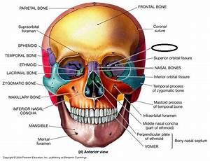13 Best Skull Anatomy Images On Pinterest