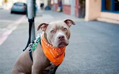 Pitbull Christmas Scarf Orange
