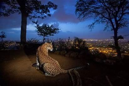 Steve Winter Leopardos India Wildlife Geographic National