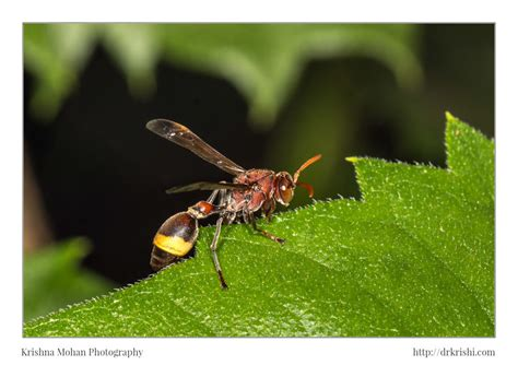 ropalidia wasp krishna mohan photography