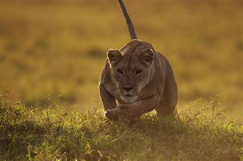 Lioness Running Photograph By Anup Shah
