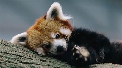 Panda Pandas Wallpapers Sad Itl Cat Backgrounds