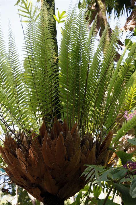 drynaria growing oak leaf ferns