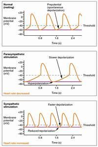 Cardiac Physiology  U00b7 Anatomy And Physiology
