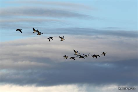 migrating birds kamlau com