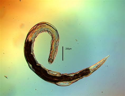 Soil Nematodes of the Antarctic Dry Valleys — Fish Laboratory