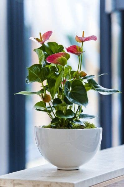 pink anthurium flowering display in shiny white pot home inspiration office plants indoor