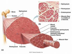 Other Structural Components Of Skeletal Muscle At