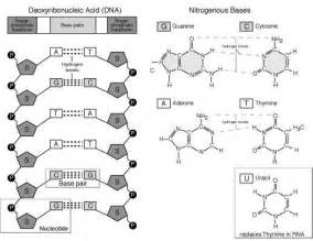 Dna Base Pairing Worksheet Answers L02 Dna Structure Explore Ascend Biology
