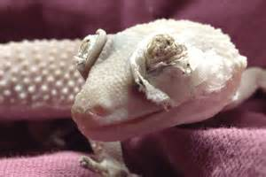 eyelid dysecdysis in leopard geckos gecko time gecko time