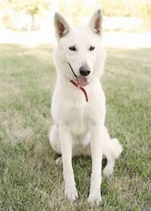 White German Shepherd-Husky... have i finally solved Nala ...