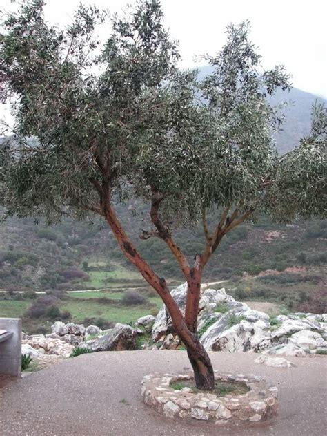 Chignons Im Garten Züchten by Olivenbaum Ein Symbol Des Friedens Im Garten Z 252 Chten