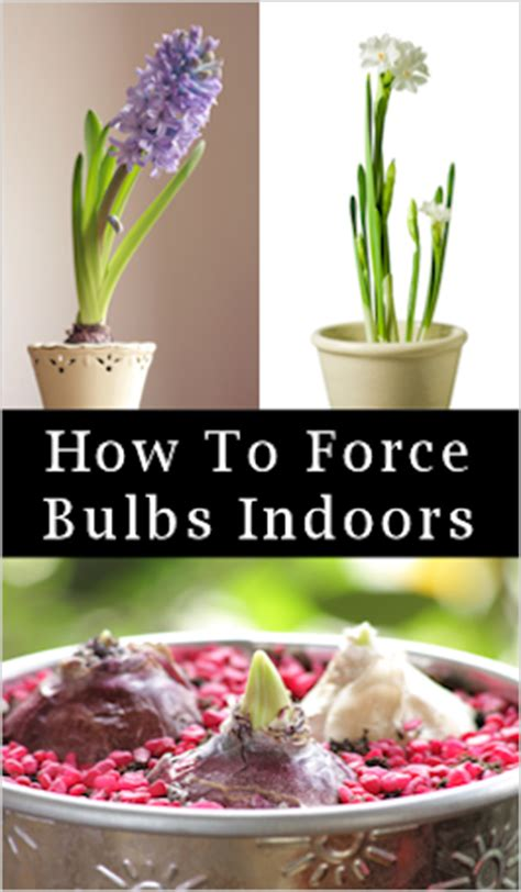 forcing bulbs indoors for winter blooms how to tips