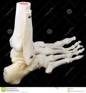 Human Foot Skeleton Side View