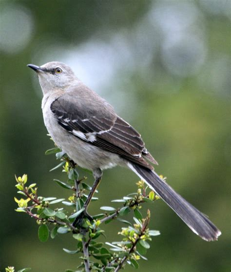 different types of birds that sing 121 best images about birds on tennessee tree and different birds