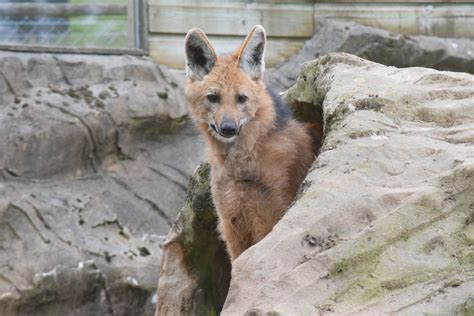 Exmoor Zoo Maned Wolf By Drago Husky On Deviantart