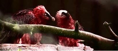 Vulture Bearded Gifs Vultures Birds Korkeasaari Zoo