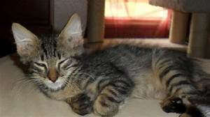 Aiden the Maine Coon Mix Kitten's Web Page