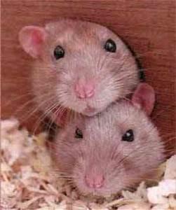 Was Fressen Ratten : aelteres semester hilfsbereite ratten ~ One.caynefoto.club Haus und Dekorationen
